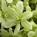 Early Sensation spring-flowering clematis