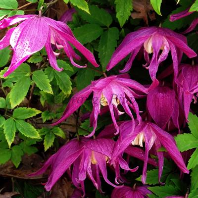 Clematis Ruby Celebration