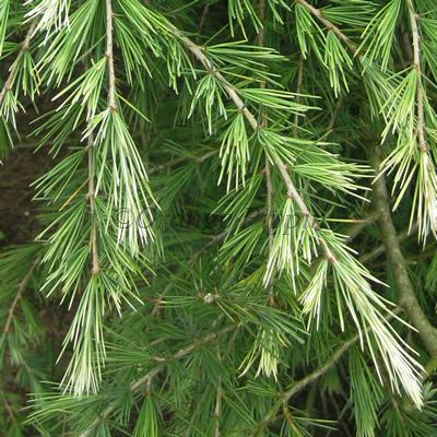 Cascade Of Cream conifers