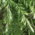 Cascade Of Cream fast-growing conifers