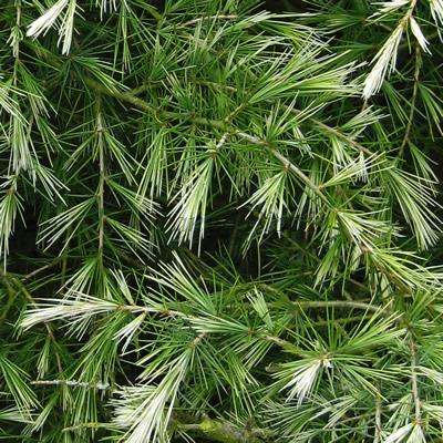Shower Of Silver conifers