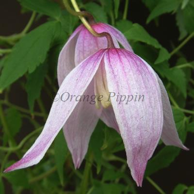 Willy clematis
