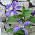 Arabella late summer clematis