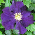 Black Tea early summer clematis
