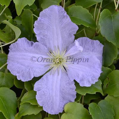 Clematis Blue Angel For Sale Buy Online