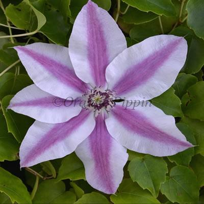 Capitaine Thuilleaux clematis flower