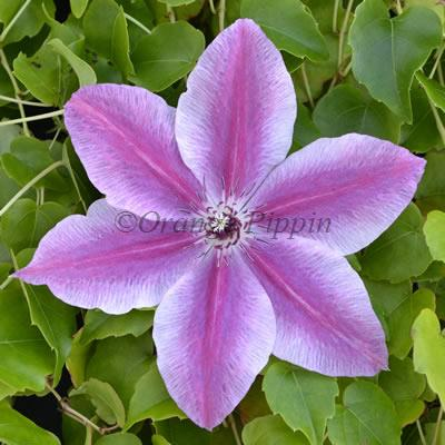 Carnaby clematis flower