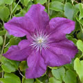 Charissima early summer clematis