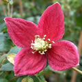 Lansdowne Gem winter-flowering clematis