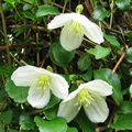Jingle Bells winter-flowering clematis