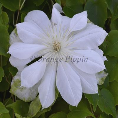 Duchess Of Edinburgh clematis flower