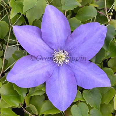 Hf Young clematis flower
