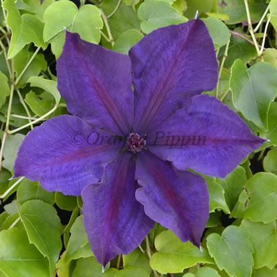 Honora clematis flower
