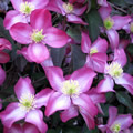 Freda early summer clematis