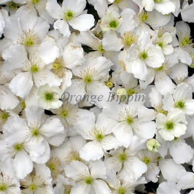 Clematis montana spooneri for sale buy online clematis montana spooneri is a fast growing non evergreen climber which smothers itself in small white scented flowers during the late spring and early mightylinksfo