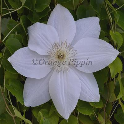 Mrs George Jackman clematis flower