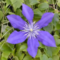 North Star late summer clematis