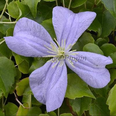 Prince Charles clematis flower