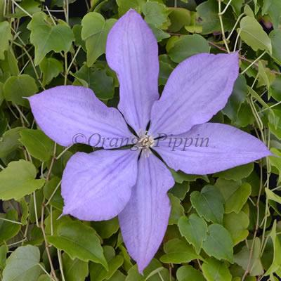 Proteus clematis flower