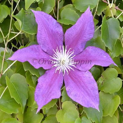 Red Pearl clematis flower
