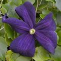 Romantika late summer clematis