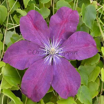 Rouge Cardinal clematis flower