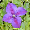 Star Of India late summer clematis