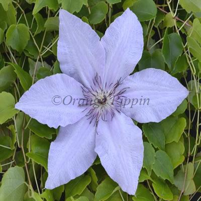 The First Lady clematis flower