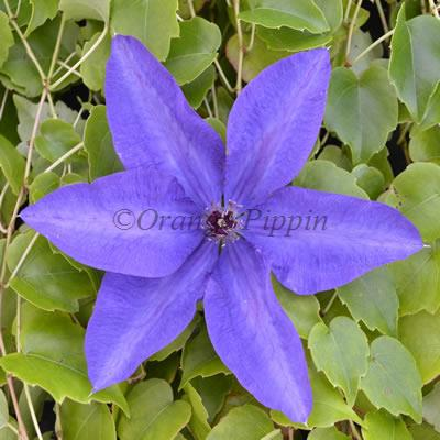 The President clematis flower