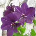 Viola late summer clematis