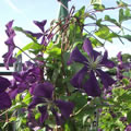 Etoile Violette late summer clematis