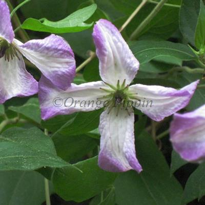 Little Nell clematis