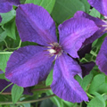 Polish Spirit late summer clematis