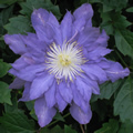 Vyvyan Pennell early summer clematis