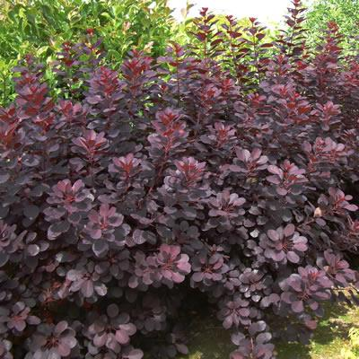Royal Purple shrubs
