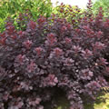 Royal Purple late summer shrubs