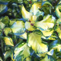 Ripley Gold tall evergreen shrubs