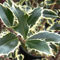 Handsworth New Silver tall evergreen shrubs