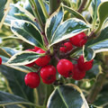 Bowland tall evergreen shrubs