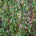Jacqueline Postill winter-flowering shrubs