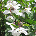 Philadelphus purpurascens early summer shrubs