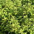 Gold Star rounded evergreen shrubs