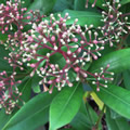 Fragrans spring-flowering shrubs