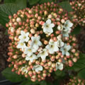 Compactum spring-flowering shrubs
