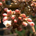 Viburnum x burkwoodii spring-flowering shrubs